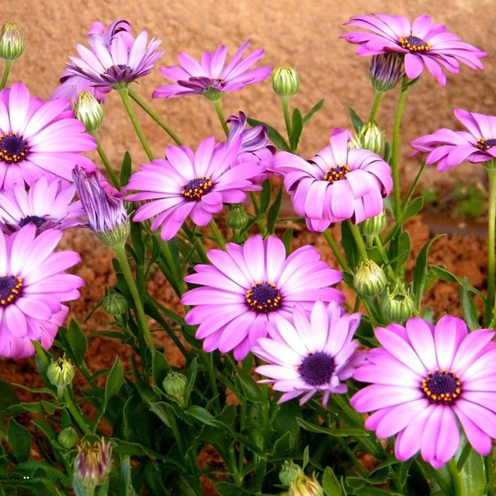 Beautiful Small Purple Marigold Seed DIY Home Garden Small Potted Plant