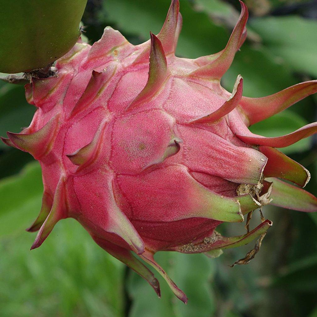 One Bag DIY Fruit Dragon Pitaya Seeds Delicious Home Garden Plant Pot