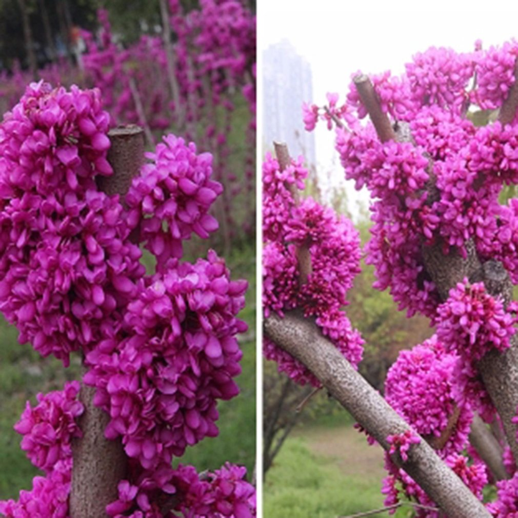 Beautiful Bauhinia Seeds Cercis Chinensis Bonsai Flower Seeds For Home Garden