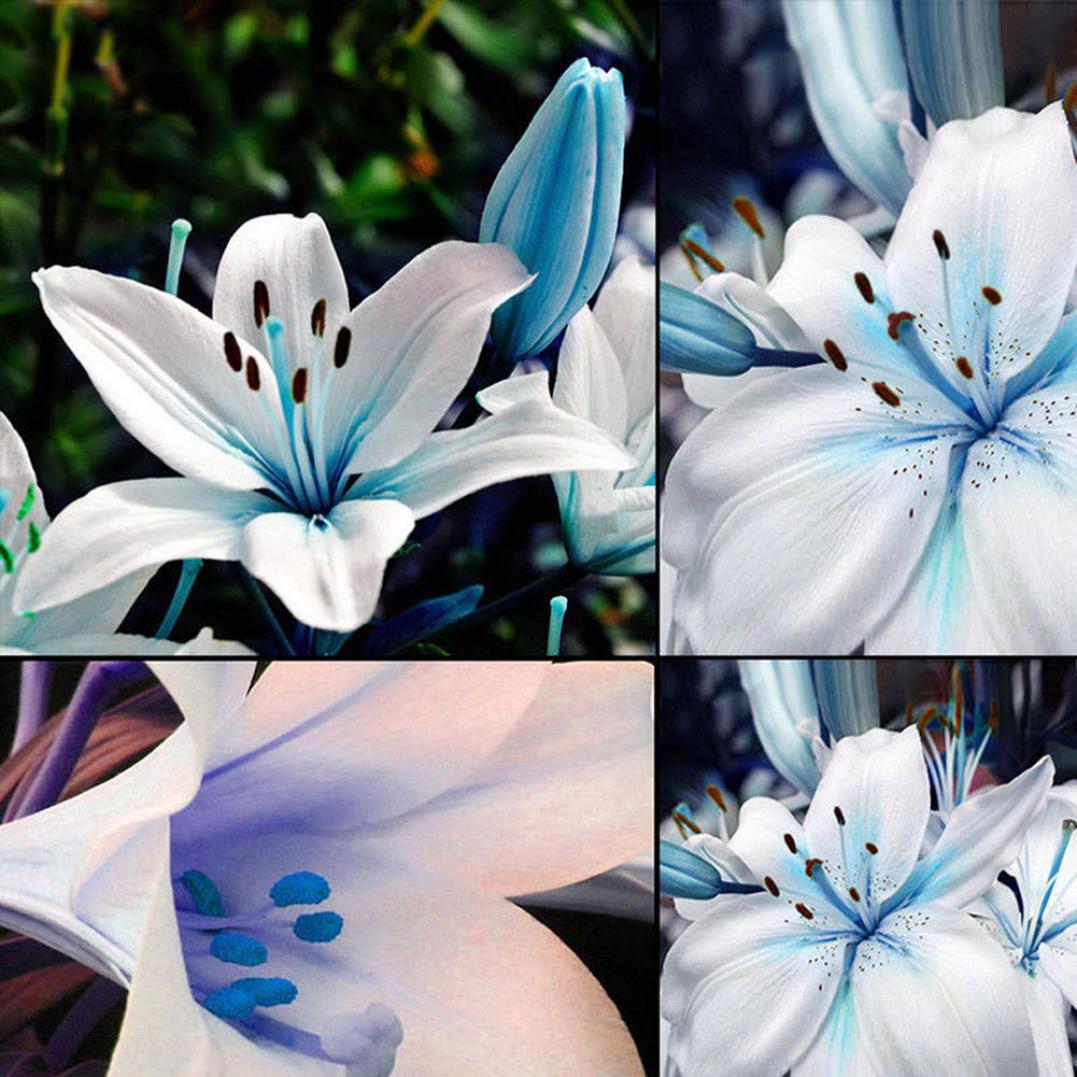 50Pcs Blue Rare Lily Bulbs Seeds Planting Lilium Flower Home Bonsai Garden Decor
